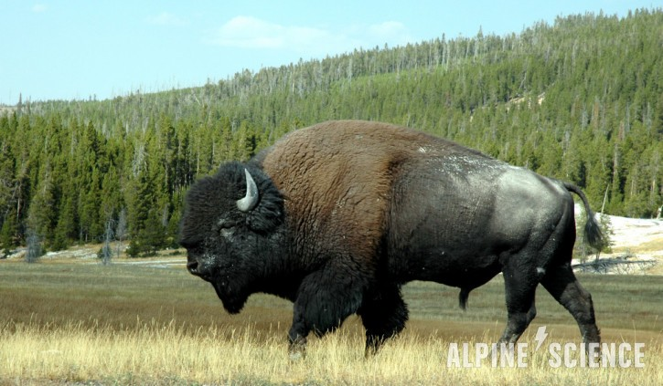 Second Bison Goring of the Year Occurs in Yellowstone National Park